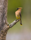 Pássaro waxwing do cedro Fotos de Stock Royalty Free