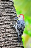 Pássaro, Woodpecker Vermelho-inchado fotografia de stock