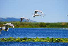 Pássaros à superfície da àgua com plantas Fotografia de Stock