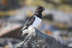 Pássaros árticos (auk pequeno) Foto de Stock