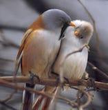 Pássaros alaranjados e pequenos brancos bonitos pequenos que sentam-se no sutiã Fotos de Stock