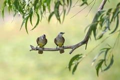 pássaros Amarelo-exalados do bulbul que empoleiram-se no ramo de árvore em Tailândia ( Fotos de Stock
