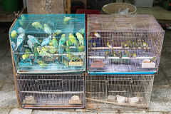 Pássaros amarelos nas gaiolas Fotos de Stock