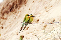 pássaros Azul-atados do Abelha-comedor fotografia de stock royalty free