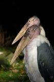 Pássaros bold(realce) do marabu dos pares Imagem de Stock Royalty Free