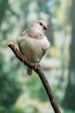 Pássaros bonitos Astrild Estrildidae que senta-se em um ramo Fotografia de Stock Royalty Free