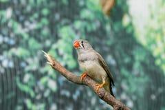 Pássaros bonitos Astrild Estrildidae que senta-se em um ramo Fotos de Stock Royalty Free