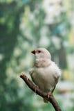 Pássaros bonitos Astrild Estrildidae que senta-se em um ramo Fotografia de Stock