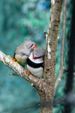 Pássaros bonitos Astrild Estrildidae que senta-se em um ramo Imagem de Stock Royalty Free