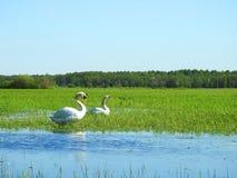 Pássaros bonitos da cisne no campo de inundação, Lituânia fotos de stock royalty free