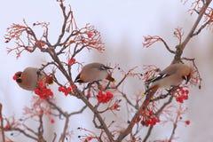 Pássaros bonitos do inverno que comem bagas Imagens de Stock Royalty Free