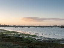 Pássaros bonitos nas tarambolas do eseex do pântano de sal que alimentam vagabundos da paisagem Imagens de Stock Royalty Free