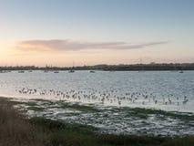 Pássaros bonitos nas tarambolas do eseex do pântano de sal que alimentam vagabundos da paisagem Fotos de Stock