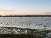 Pássaros bonitos nas tarambolas do eseex do pântano de sal que alimentam vagabundos da paisagem Foto de Stock