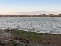 Pássaros bonitos nas tarambolas do eseex do pântano de sal que alimentam vagabundos da paisagem Imagens de Stock