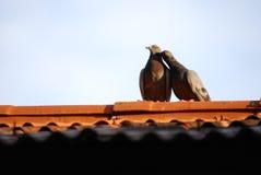 Pássaros bonitos no telhado Imagens de Stock Royalty Free