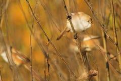 Pássaros bonitos que sentam-se em um ramo das folhas de outono Fotos de Stock Royalty Free