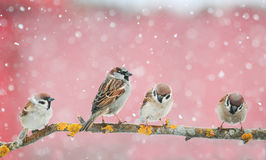 Pássaros bonitos que sentam-se no ramo durante uma queda de neve Foto de Stock Royalty Free
