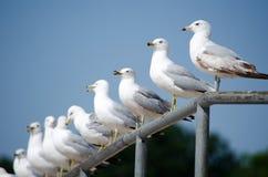 Pássaros bonitos todos em uma fileira Imagem de Stock