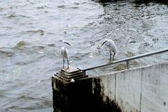 Pássaros brancos Fotos de Stock Royalty Free