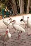 Pássaros brancos americanos do albus de Eudocimus dos íbis Fotos de Stock Royalty Free