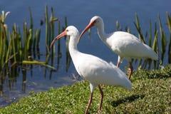 Pássaros brancos de Florida Ibis imagem de stock