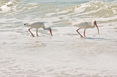 Pássaros brancos de ibis Fotografia de Stock Royalty Free