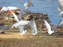 Pássaros brancos de voo no lago Randarda, Rajkot, Gujarat Fotografia de Stock Royalty Free