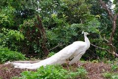Pássaros brancos do pavão em 3Sudeste Asiático Fotografia de Stock Royalty Free