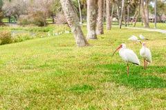 Pássaros brancos dos íbis no parque do lago Imagem de Stock Royalty Free