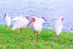 Pássaros brancos dos íbis no parque do lago Fotos de Stock