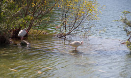Pássaros brancos dos íbis no rio, Florida Imagem de Stock Royalty Free