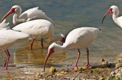 Pássaros brancos dos íbis que alimentam em uma lagoa Foto de Stock