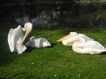 Pássaros brancos enormes do jardim zoológico Imagens de Stock