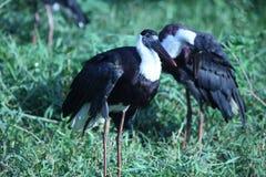 Pássaros brancos pretos em Phnom Tamao Zoo Imagem de Stock Royalty Free