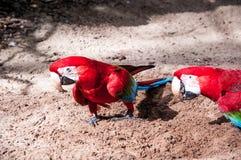 Pássaros brasileiros Imagens de Stock