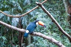 Pássaros brasileiros Imagem de Stock