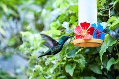 Pássaros brasileiros Foto de Stock