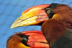 Pássaros brilhantes do Hornbill Imagem de Stock Royalty Free