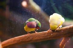 Pássaros coloridos bonitos Fotografia de Stock Royalty Free