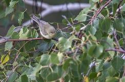 Pássaros coloridos entre as folhas de uma árvore Fotografia de Stock Royalty Free