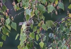 Pássaros coloridos entre as folhas de uma árvore Fotos de Stock Royalty Free
