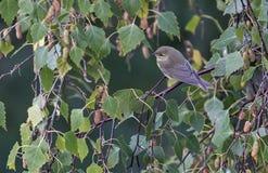 Pássaros coloridos entre as folhas de uma árvore Imagem de Stock Royalty Free