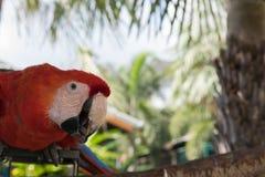 Pássaros coloridos no jardim, papagaio da arara Fotos de Stock Royalty Free