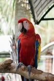 Pássaros coloridos no jardim, papagaio da arara Fotos de Stock