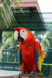 Pássaros coloridos no jardim, papagaio da arara Imagens de Stock