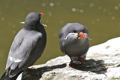 Pássaros com moustaches Imagens de Stock Royalty Free