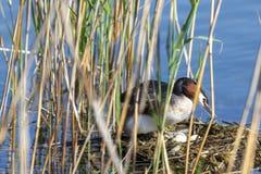 Pássaros com ovos em uma laca Imagens de Stock Royalty Free