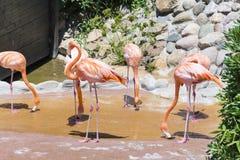 Pássaros cor-de-rosa do flamingo Fotografia de Stock