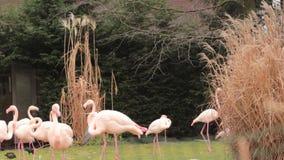 Pássaros cor-de-rosa do flamingo, tipo de pássaro vadeando no Phoenicopteridae da família filme